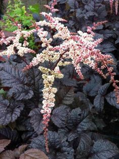 Add refined grace to any garden with Astilbe perennials. Find a generous selection of Astilbes from Bluestone Perennials. Garden Shrubs, Succulents Garden, Shade Garden, Garden Plants, Fruit Garden, Flowers Perennials, Planting Flowers, Landscape Design, Garden Design