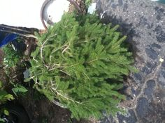 """Picea abies """"Formanek"""""""