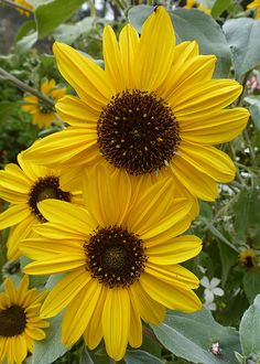 Sunflower 'Japanese Silver-Leaf'; large open shrub with masses of sunflowers from summer to autumn. A feast of food For bees and butterflies. 6' x 5' wide.
