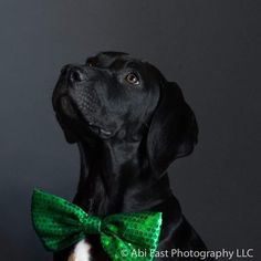 Anubis says Happy St Patrick's day! To celebrate get 30% off ANY pet session! Hurry and get your pet's pictures booked before 5 pm Monday March 20 2017 to get this awesome deal! Message or call today to book your spring/summer 2017 pet or portrait session! - - - If you would like to repost any of my pictures that is fine but please no editing (including filters and cropping) and please tag me in description.  #Anubis #pitbull #dogphotography #dog #staffordshirebullterrier #staffy #stafford…