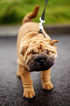 """ Shakey Shar-Pei "" - How cute! #DogLovers #GreatSkyGifts"