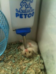 it is thirsty it took it awhile to figure out how to drink from… - Hamsters Animals And Pets, Funny Animals, Cute Animals, Baby Animals, Funny Hamsters, Chinchillas, Hamster Pics, Syrian Hamster, Pocket Pet
