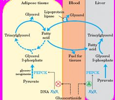 lipid synthesis pathway | PATHWAY OF TG SYNTHESIS - 1 sources of lipids and their transport