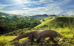 Komodo Dragon in Rinca Island Photo by Kwong Chi Wong -- National Geographic Your Shot