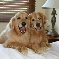 A great way to wake up with a pair of Goldens ready to start the day.
