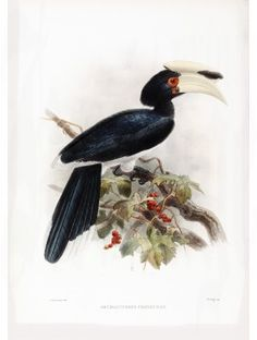 16 Cochin China Pied Hornbill