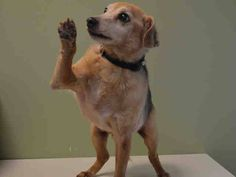 SUPER URGENT 9/23/14 Manhattan Center   ELVIS - A1015062   MALE, BLACK / TAN, JACK RUSS TERR / BEAGLE, 13 yrs OWNER SUR - ONHOLDHERE, HOLD FOR ID Reason MOVE2PRIVA  Intake condition EXAM REQ Intake Date 09/23/2014, From NY 10009, DueOut Date 09/23/2014, https://www.facebook.com/Urgentdeathrowdogs/photos/pb.152876678058553.-2207520000.1411681114./875313109148236/?type=3&theater