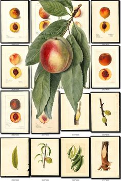 PEACH-6 Collection of 145 vintage images pictures High resolution digital download printable fruits edible amygdalus prunus persica           data-share-from=listing        >           <span class=etsy-icon