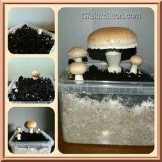 nombreux conseils sur la culture de champignons à la maison. Génial pour les enfants !!!!