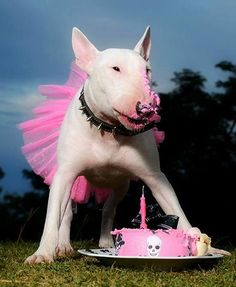 Ideas Birthday Ilustration Dog Bull Terriers For 2019 Mini Bull Terriers, Bull Terrier Puppy, English Bull Terriers, I Love Dogs, Cute Dogs, British Bull Terrier, Terrier Breeds, Beautiful Dogs, Mans Best Friend