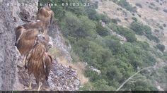 Het is mogelijk vogels te spotten in Israël. Webcams zijn geplaatst bij een aantal nesten. Zie voor de webcams deze link. Open de video's aan de rechterzijde. Op de bovenste video zien we buizerds …