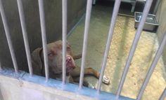 Pitbull at the OC Shelter in Orange, Ca.