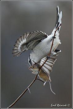 Northern Shrike (Lanius excubitor) and Deer Mouse I Like Birds, All Birds, Birds Of Prey, Beautiful Birds, Animals Beautiful, Dogs With Jobs, Parakeet Bird, Circle Of Life, Bird Pictures