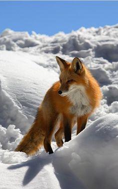 Winter fox by Hungryghost. °