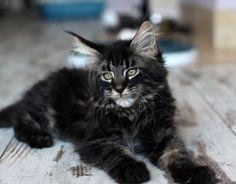 Maine coon kitten http://www.mainecoonguide.com/male-vs-female-maine-coons/