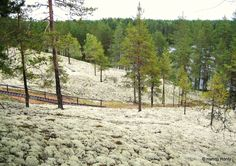 Lichen in Finland. Food for reindeer. Reindeer, Finland Food, National Parks, Country Roads, Mountains, Amazing, Places, Nature, Travel