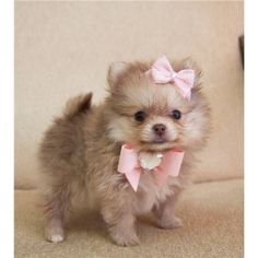 Teacup #pomeranian Puppy. Omg when me and jay have a place she is ours