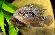 Jack Dempsey fish