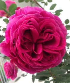Heathcliff ~ English Shrub Rose
