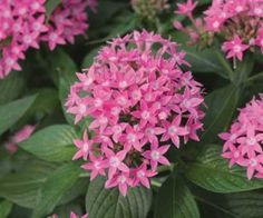 Pentas 'Butterfly Deep Pink' is a great way to get the butterflies' attention while bringing height and color to a container or window box. This upright plant has large, deep pink, star-shaped petal clusters on tall stems which are great focal points or cut flowers. Heat and drought tolerant