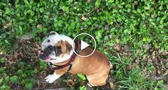 Hilarious Bulldog Repeatedly Rolls Herself Down A Hill