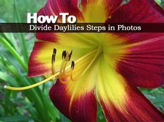 Daylilies are dependable and colorful flowers in the landscape, they are also very adaptable to many soil conditions. These tough perennials are known for their low maintenance, requiring little special care and we've shared them before in other post like: How, When and Where and growing them on...
