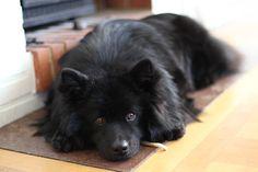Picture Thread - Swedish Lapphund - Pictures & Movies - Lace & urhundar iFokus