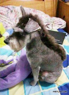 Omg i am so doing this to my moms dog!! Schnauzer or donkey? Schnonkey