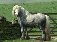Fell Pony. One of the UK's native mountain and moorland pony breeds. Its history and bloodlines have been closely mixed with its geographic neighbor, the Dales Pony; but it is a little smaller and has a more pony-like head.   It is hardy, intelligent, willing and versatile. At one point it was endangered like the Dales, but the breed has bounced back much stronger  photo: Fleur Hallam.