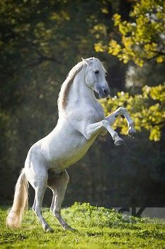 Pure Spanish Horse - Andalusian Stallion named Sogdiano rearing up.