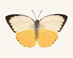 He encontrado este interesante anuncio de Etsy en https://www.etsy.com/es/listing/110527958/yellow-butterfly-print-fine-art