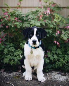 """a-hound-dog: """" Morty, lab mix. 8 weeks old. Shoreline, Washington. """""""
