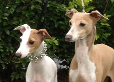 Berizza Italian Greyhounds