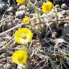 SEURAA LUONTOA...SUOMI. Eka LESKENLEHTI ja muita Kevään Luonnon kukkia, kasveja ja ilmiöitä. Tykkään&Nautin. Katsella&kävellä, Tutustua, tutkia ja ihmetellä....SUOSITTELEN. Sinä? Nautin Elämästä&Päivistä....HYMY #luonto #ympäristö #suomi #kotimaa #kasvu #kevät #katso #tutki #retki @yleluonto ⏰☺