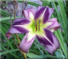 SPRING FEVER DAYLILIES: Starmans Quest