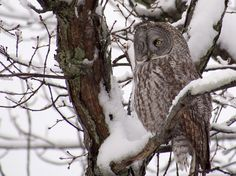 A great grey owl at Lemoine's Point.