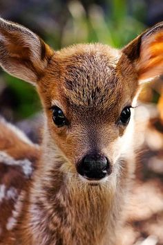 prettypicsdelightfultips: lolcuteanimals: Beautiful little fawn. Such a beautiful animal!