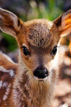 prettypicsdelightfultips:  lolcuteanimals:  Beautiful little fawn.  Such a beautiful animal!