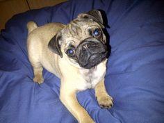 My baby Edna, cutest pug ever