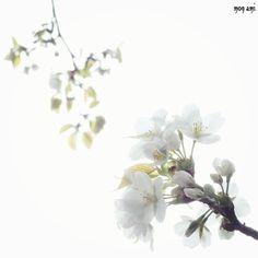 花金 いつかの桜で もにもに  今日をやっつけたら 来週は日しかないし そのあとはGWやし 頑張るしかないなっっ   by mon_ami_2000