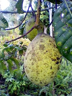 Buah Bacang (Mangifera foetida) also known as horse mango, mamut or limus is a species of plant in the Anacardiaceae family.It is found in low-land rainforest regions in South East Asia.