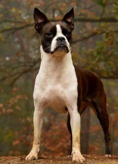 2 Years Old Boston Terrier named Noa in the Woods in Holland  ► http://www.bterrier.com/?p=30301 - https://www.facebook.com/bterrierdogs