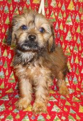 """Slinky is an adoptable Yorkshire Terrier Yorkie Dog in Niles, IL. The """"Children Toys"""" litter is about 7-8 weeks. They have beautiful Yorkie coats and the long elegant body of a Dachshund. This is a wo..."""
