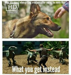 Malinois if you have one you understand lol Military Working Dogs, Military Dogs, Belgian Shepherd, German Shepherd Dogs, German Shepherds, Funny Dogs, Funny Animals, Belgian Malinois Puppies, Belgium Malinois