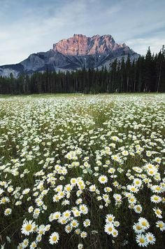 Field of Daisies, Banff National Park, Alberta, Canada.