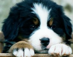 Bernese Mountain puppy  Could someone please get me one???