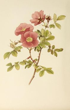 Rosa Macrophylla  Illustration taken from 'The Genus Rosa' by E. A. Willmott. Illustrations by Alfred Parsons. Published 1914 by John Murray. London.  Harvard Botany Libraries.