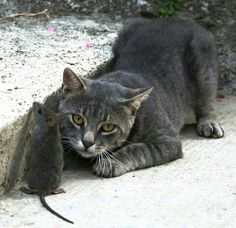 Cats, Fun, Animals, Gatos, Animales, Kitty Cats, Animaux, Cat, Animal