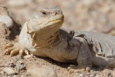 Egyptian spiny-tailed lizard (Uromastyx aegyptia) חרדון צב מצוי | Flickr - Photo Sharing!