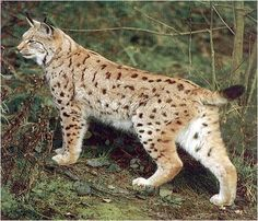 "The Eurasian lynx (Lynx lynx) is a medium-sized cat native to European and Siberian forests, where it is one of the predators. While its conservation status has been classified as ""Least Concern"", populations of Eurasian lynx have been reduced or extirpated from western Europe, where it is now being reintroduced."